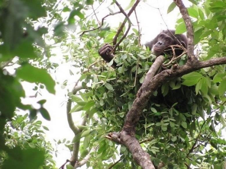 chimpanzee_no_bed_02